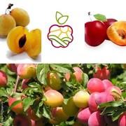 Саженцы плодово-ягодных в Атырау .